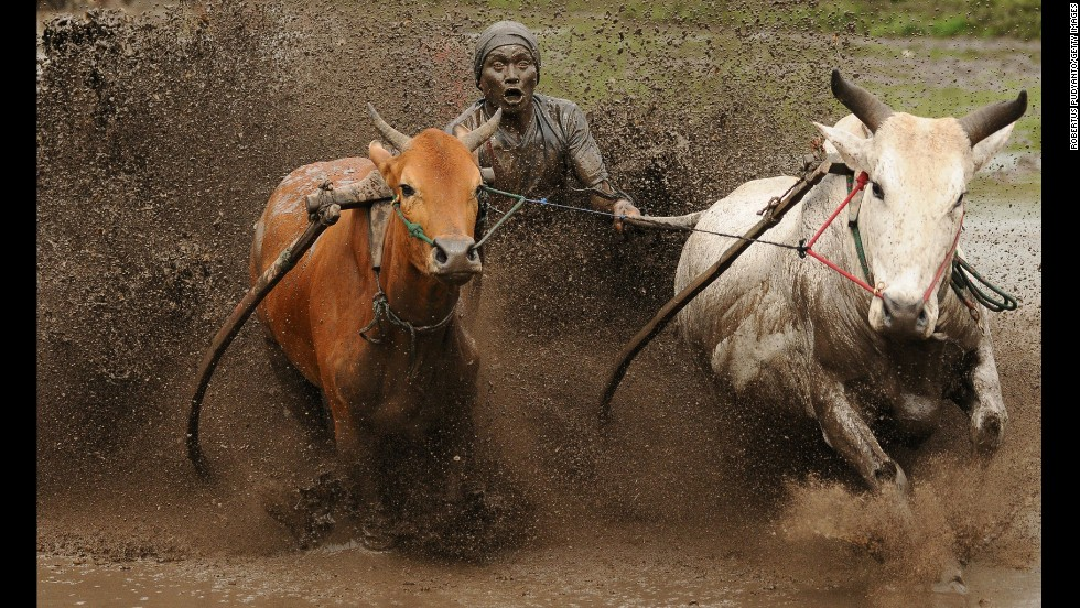 A jockey spurs the cows as they race in Pacu Jawi on October 12 in Batusangkar, Indonesia. Pacu Jawi is a traditional cow race held annual in muddy rice fields to celebrate the end of harvest season.
