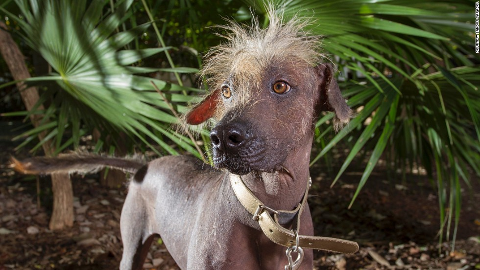 "Dog walking meets Mayan history at Sandos Caracol. Guests can take the resort's ""warrior"" dogs, known as Xoloitzcuintle, for a walk around the grounds."
