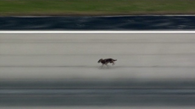 VO Coyote runs amuck at airport_00000103.jpg