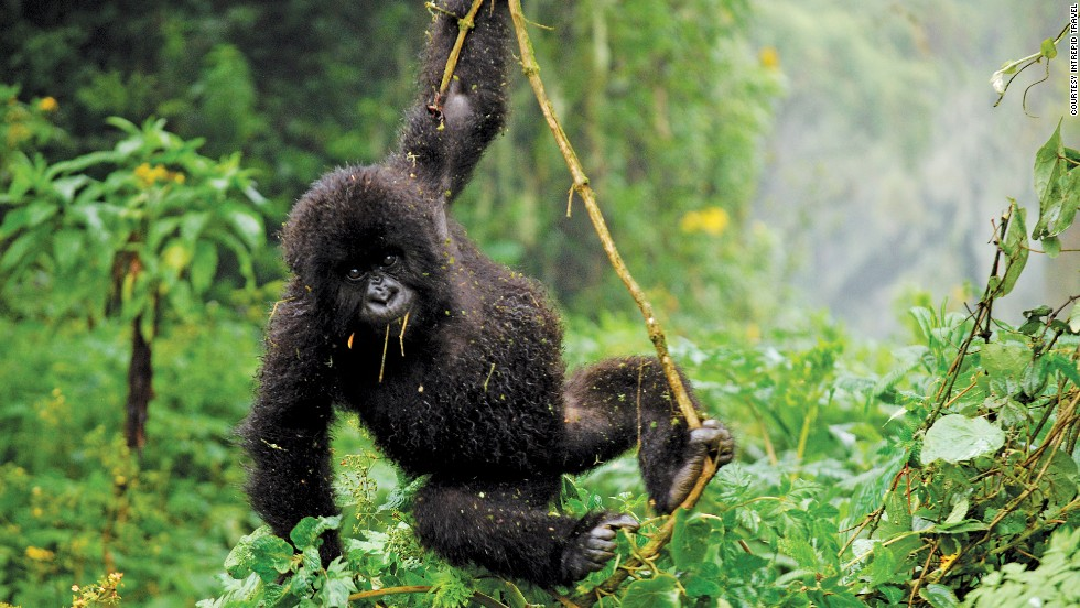 """Spotting gorillas in Uganda and rhino in Kenya will become a less complicated affair in 2014 after changes to visa regulations come into effect.<br />""""Visiting the mountain gorillas in Rwanda is a trip of a lifetime, but the magical experience itself lasts just one hour once you get up close to them,"""" says Brad John-Davis, general manager for PEAK Africa."""
