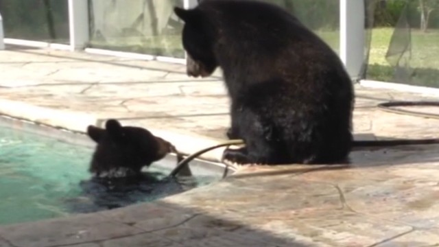 dnt fl bears in pool_00012604.jpg