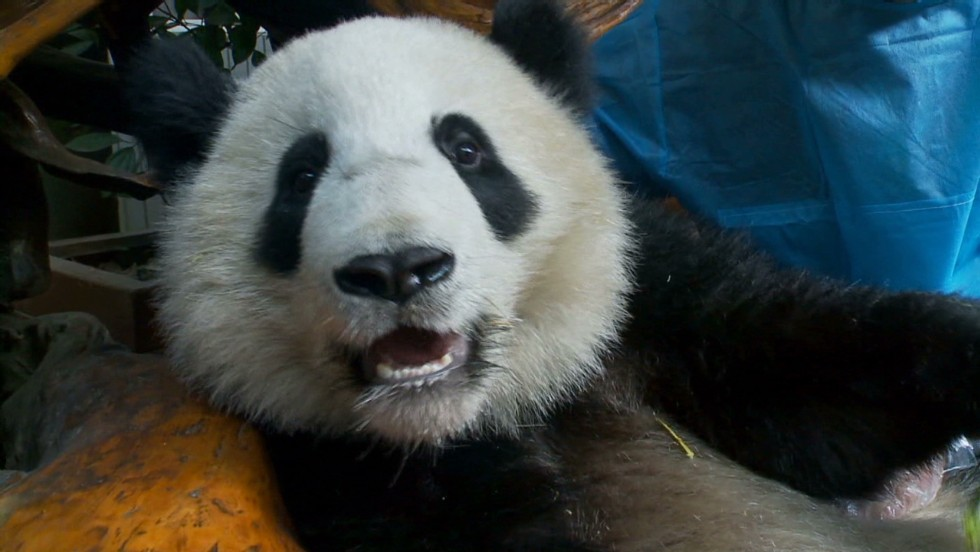 Too cute: Pandas in China