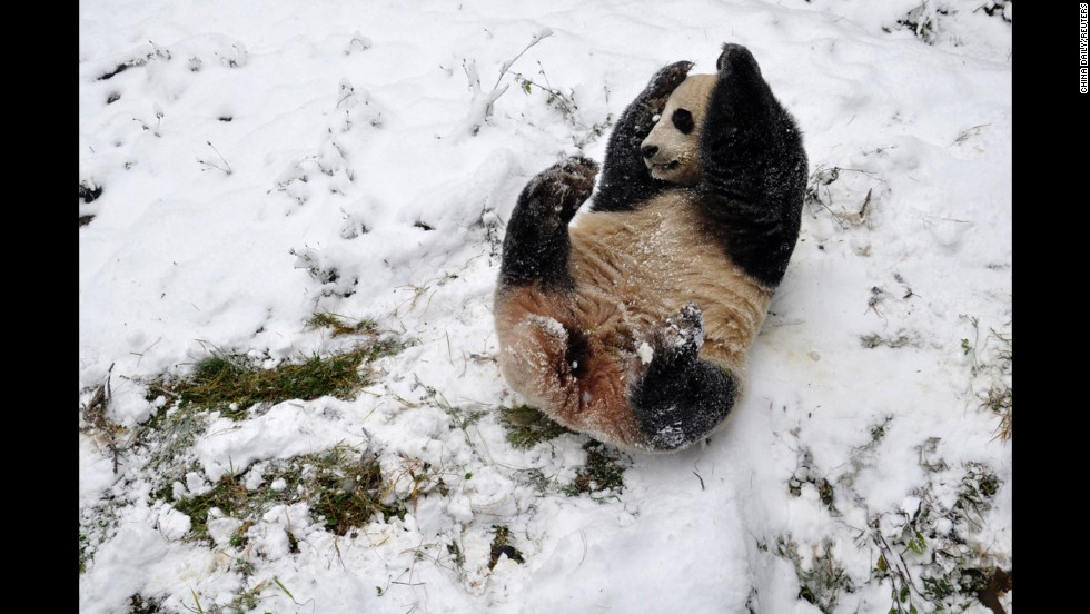 <strong>December 16:</strong> A giant panda plays in the snow at a zoo in Kunming, Yunnan province, in China.