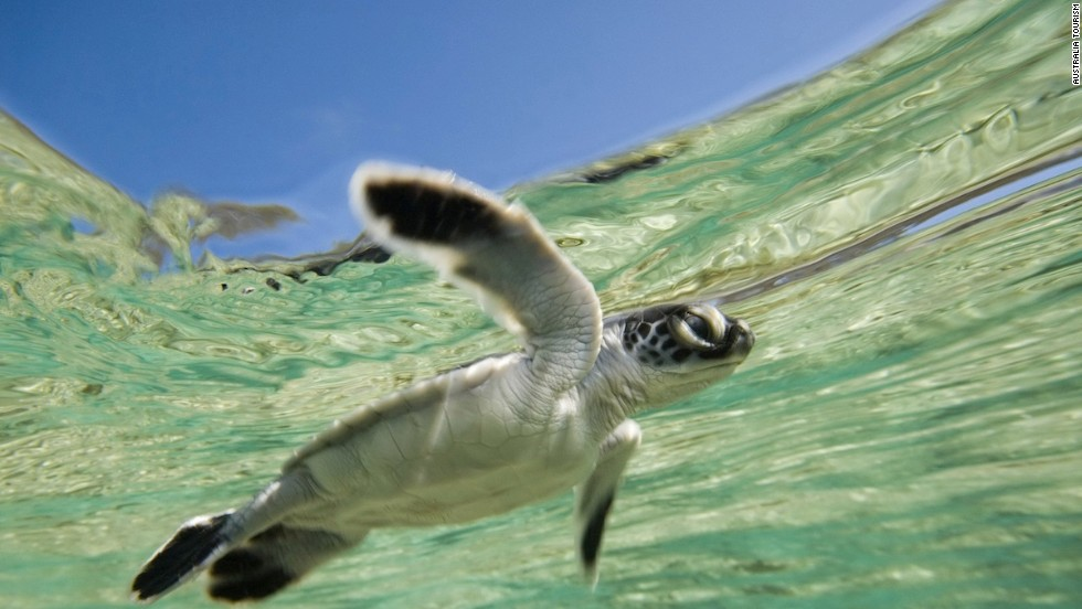 Guests checking into One&Only Hayman Island, due to reopen following extensive renovations in July 2014, will have the Great Barrier Reef -- and adorable critters like this guy -- at their doorstep.