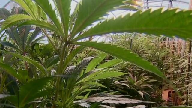 intv.tvert.marijuana_00022930.jpg