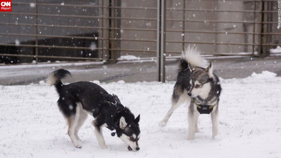 "The unbelievably cold weather in New York City didn't stop <a href=""http://ireport.cnn.com/docs/DOC-1072605"">Dan Gareau's </a>two mini huskies from running wild in Central Park. He says Voxel and Pixel were made for the snow. ""They play, prance, roll around, bite snowballs in the air,"" he said."