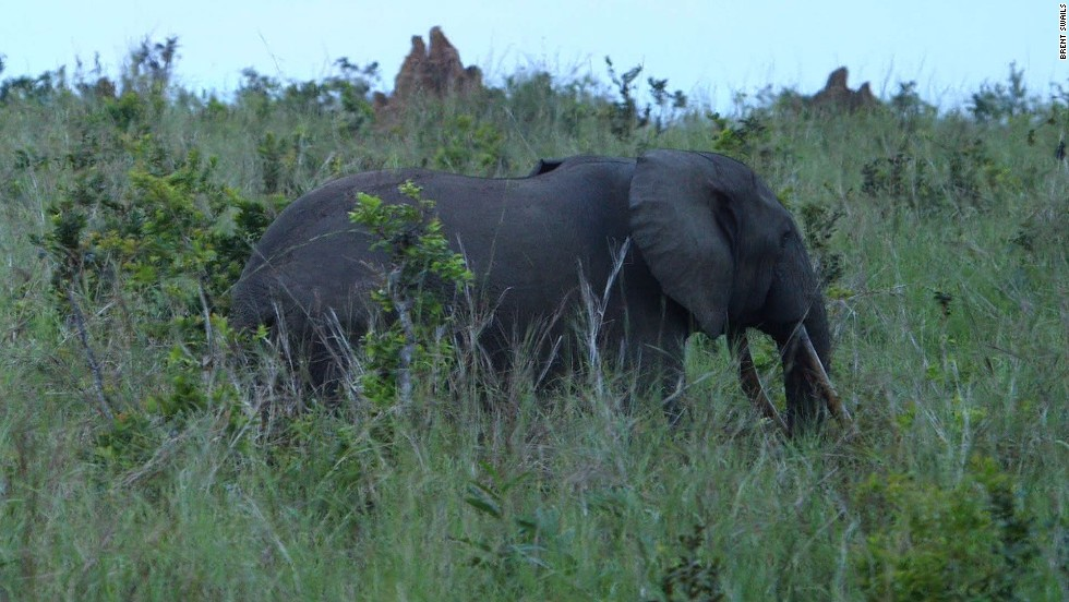 The only forest elephant our team came across in our time in Odzala. The non-profit group African Parks -- which runs Odzala -- estimates that Central Africa has lost 62% of its forest elephant population in the last decade.