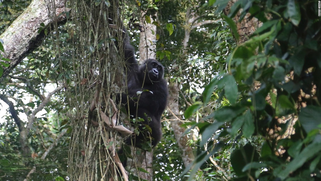 "One of the best performing sub-sectors within the wildlife tourism industry is gorilla treks, such as in <a href=""http://www.ugandawildlife.org/explore-our-parks/parks-by-name-a-z/bwindi-impenetrable-national-park"" target=""_blank"">Bwindi Forest National Park</a>, Uganda. Permits to visit a gorilla family cost between $500-700, meaning the forest, home to roughly half the world's wild mountain gorillas, generates approximately $15 million annually. <br /><strong><br /><a href=""http://edition.cnn.com/videos/intl_tv-shows/2015/07/27/spc-africa-view-wildlife-tourism.cnn"">Watch: </strong><strong>Wildlife tourism is booming in Africa</a></strong>"