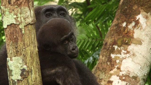 spc inside africa western lowland gorillas a_00085205.jpg