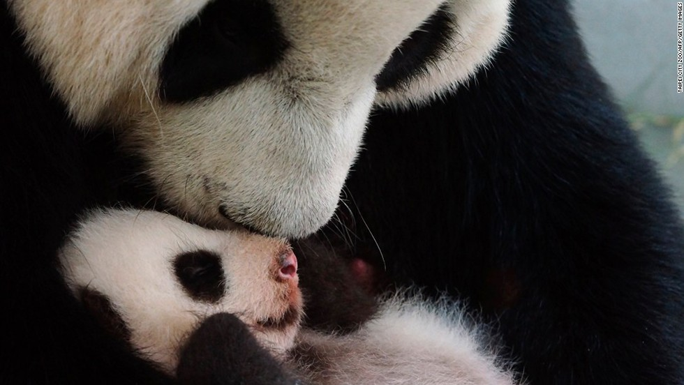 """Yuan Zai was briefly separated from her mother, Yuan Yuan, after birth, but their <a href=""""http://www.youtube.com/watch?v=RP5VqPt_c38&list=TL13mtAHNzIpYvyTgLo-t1ddBv1KZB4-QQ"""" target=""""_blank"""">reunion proved to be heartwarming</a>. The cub was born into captivity in July 2013 through artificial insemination."""