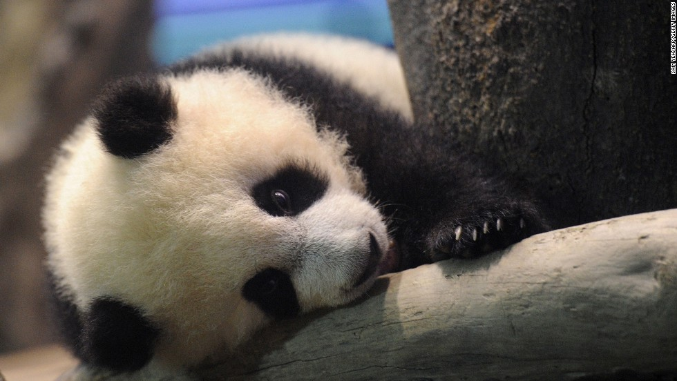 More than 10,000 visitors lined up outside the zoo for a glimpse of the cute celebrity -- who spent much of the time slumbering.