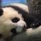 taiwan panda debut-7