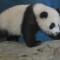 taiwan panda debut-8