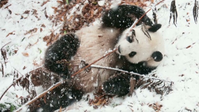 Pandas frolic in freezing temperatures