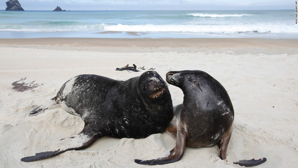 A pair of  Hooker's sea lions play on the beach at Sandfly Bay, near Dunedin, New Zealand.