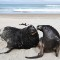 nz sea lions