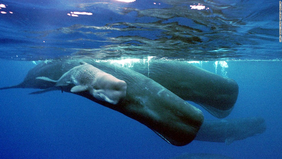 A sperm whale calf swims next to its mother and a pod of sperm whales.