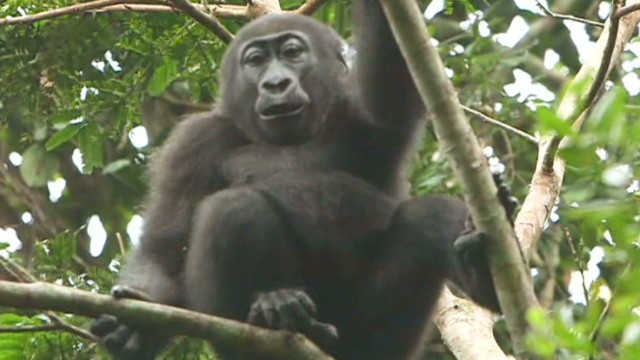 pkg damon congo garden of eden gorillas_00001601.jpg