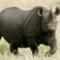 Black Rhinosaurus Kenya