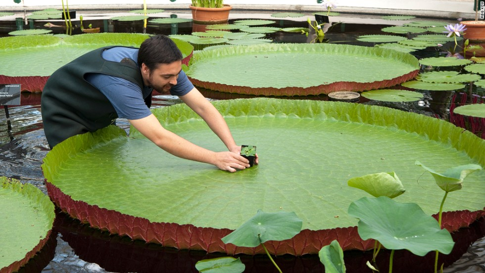 The Nymphaea thermarum next to an example of the largest waterlily in the world in Kew's waterlily house. The plant, of which only a handful of specimens still exist in the wild, was stolen from a lily pond.