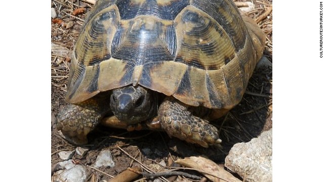 Ruin-spotting companion: one of several kinds of Turkish tortoise.