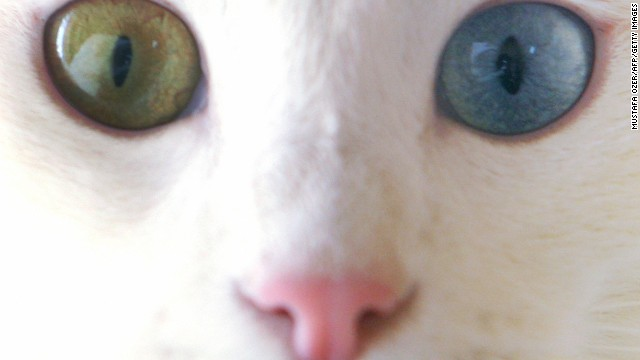 Van: odd-eyed swimming cats and an ancient church.