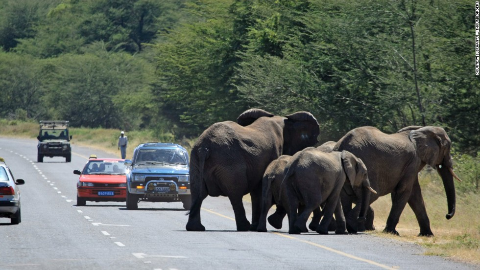 Elephants take a chance crossing the Kazangula highway in Kasane, northern Botswana. It passes all the wildlife corridors monitored by Elephants Without Borders (EWB) near Chobe National Park.