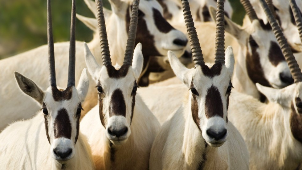 Sheik Zayed established his wildlife park to protect one species in particular -- the Arabian oryx.
