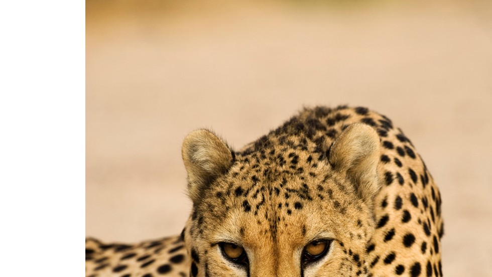 A predator in the wild, the cheetah was an obvious choice to control the gazelles.