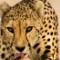 bani yas cheetah