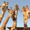 bani yas giraffes