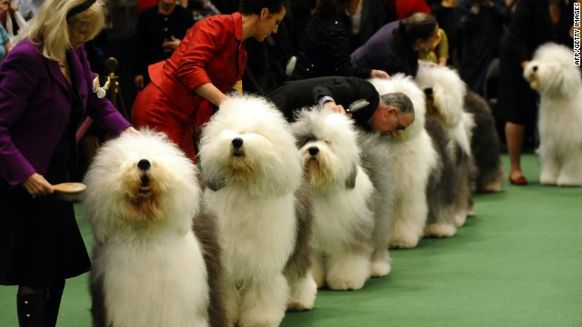 Old English Sheepdogs line up for judging during the 135th Westminster Kennel Club Dog Show at Madison Square Garden in New York, February 14, 2011.