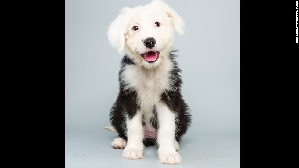 <strong>Name: </strong>Ginger.  <strong>Age: </strong>12 weeks.  <strong>Breed: </strong>Old English sheep dog.