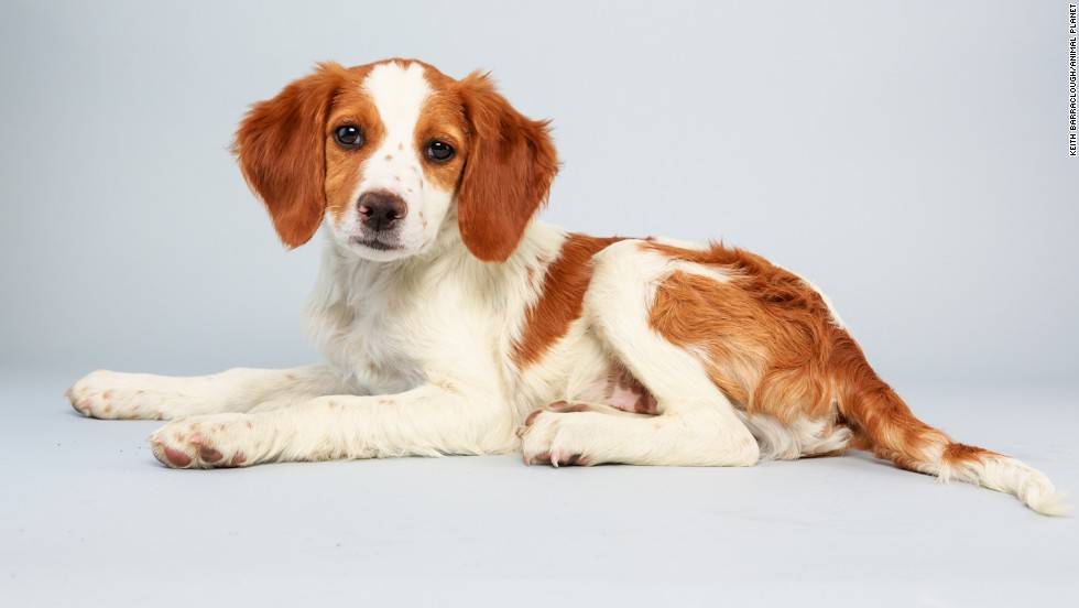 <strong>Name:</strong> Laney.  <strong>Age: </strong>13 weeks.  <strong>Breed:</strong> Brittany spaniel mix.