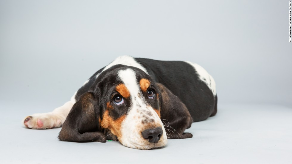 <strong>Name:</strong> Lily.  <strong>Age: </strong>13 weeks.  <strong>Breed:</strong> Basset hound.