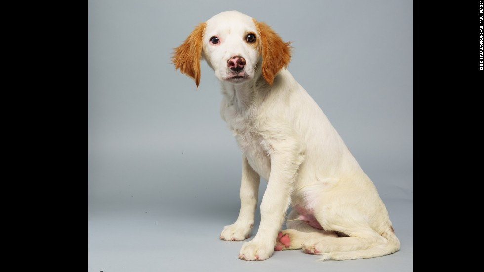 <strong>Name:</strong> Loren.  <strong>Age: </strong>14 weeks.  <strong>Breed:</strong> Brittany spaniel mix.
