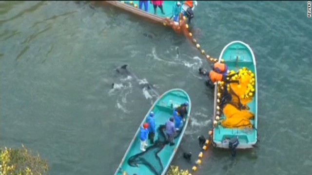 Japan's dolphin slaughter stirs outrage