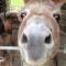 horner donkeys