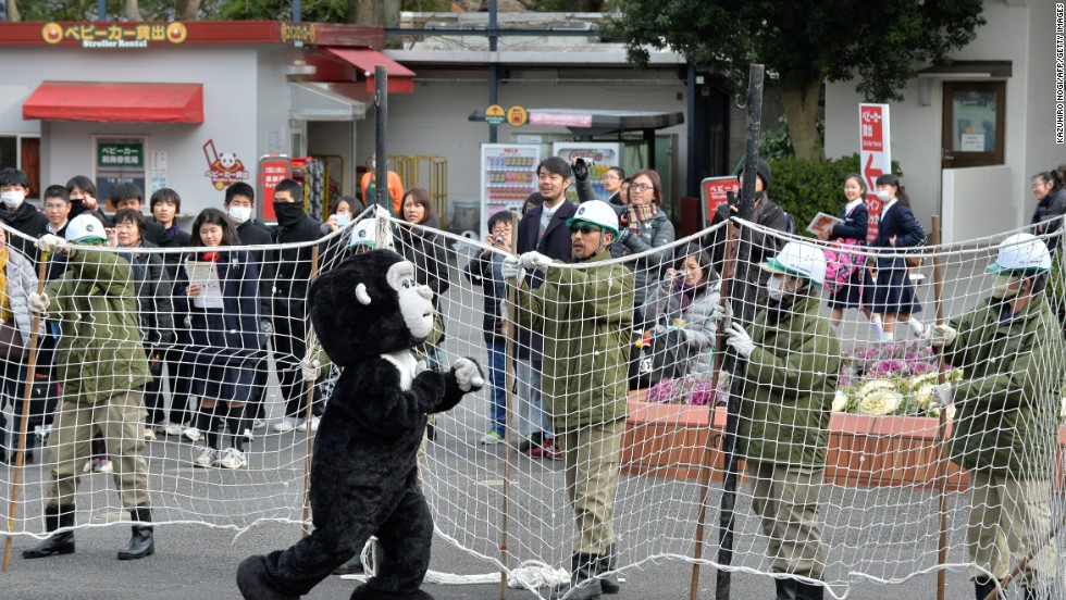 "Visitors gaped as scores of helmet-wearing keepers surrounded the ""gorilla"" with cars and nets."