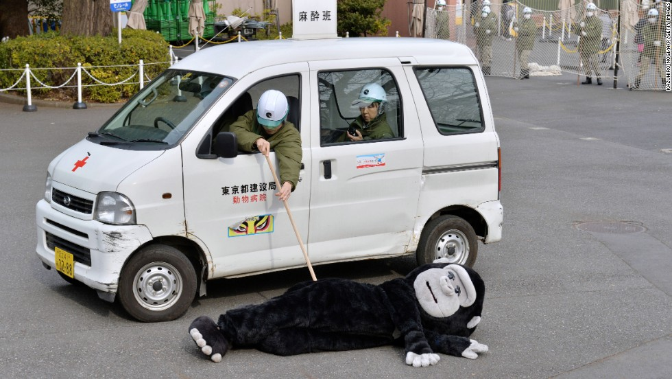 Staff at Japan's Ueno Zoo practiced capturing escaped animals by chasing around one of their colleagues wearing a gorilla suit.