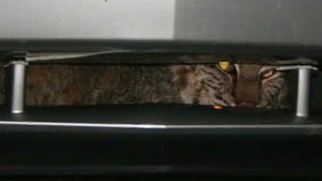 tn dnt bobcat gets stuck in car grill _00005319.jpg