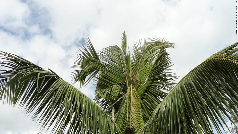 "According to <a href=""http://hdoa.hawaii.gov/pi/main/crb/"" target=""_blank"">Hawaii's Department of Agriculture</a> site the damage palm trees by boring into the crown of the tree to feed on the sap. They cut through developing leaves, causing damage to the fronds. V-shaped cuts in the fronds and holes through the midrib are visible as leaves mature and unfold."