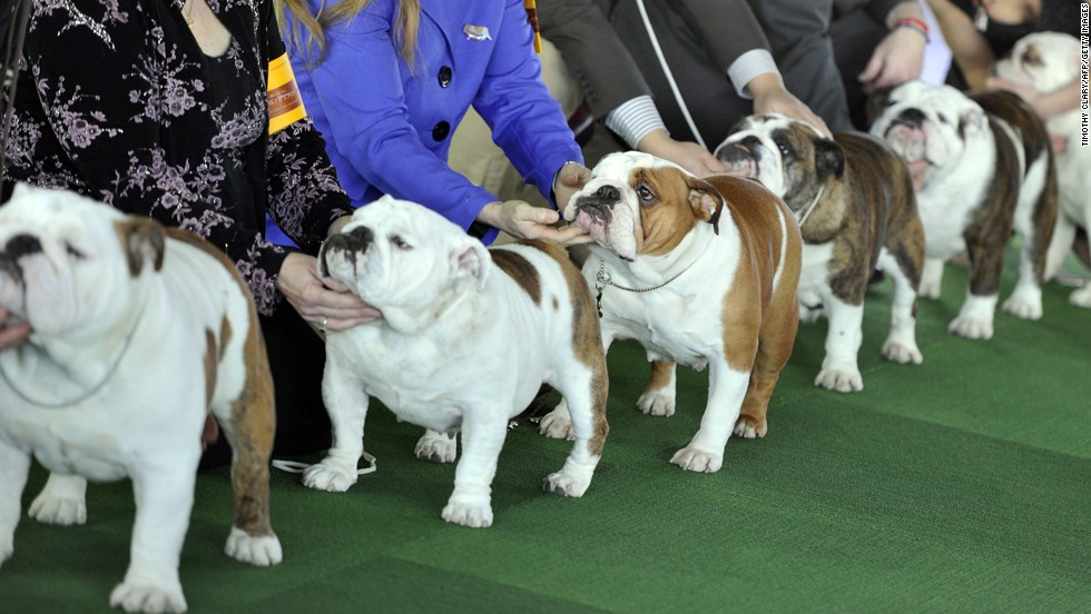 Bulldogs are judged during the first day of competition.