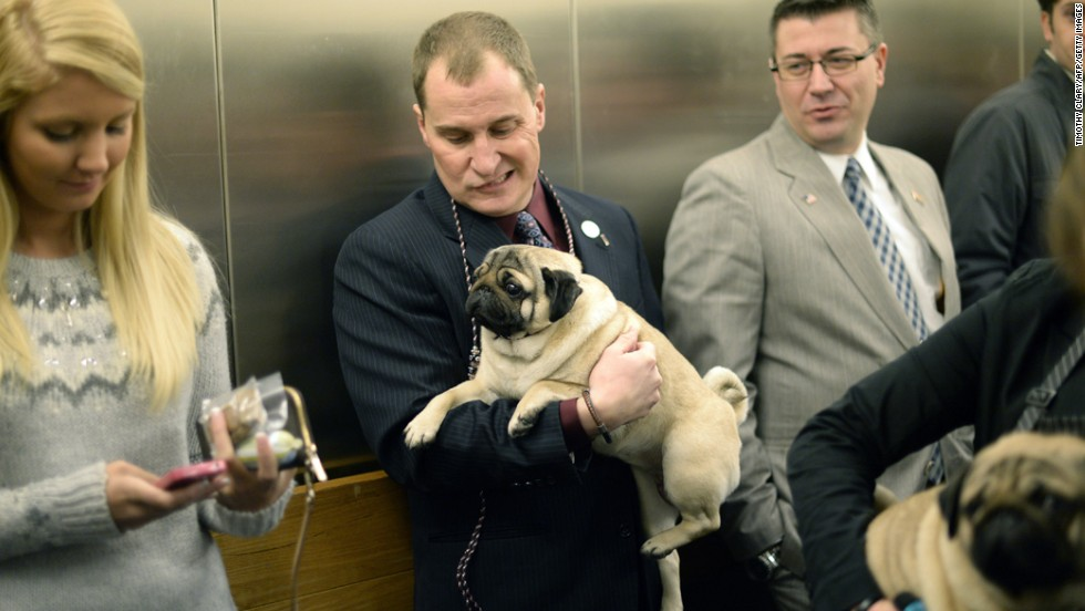 A pug and his handler ride an elevator February 10.