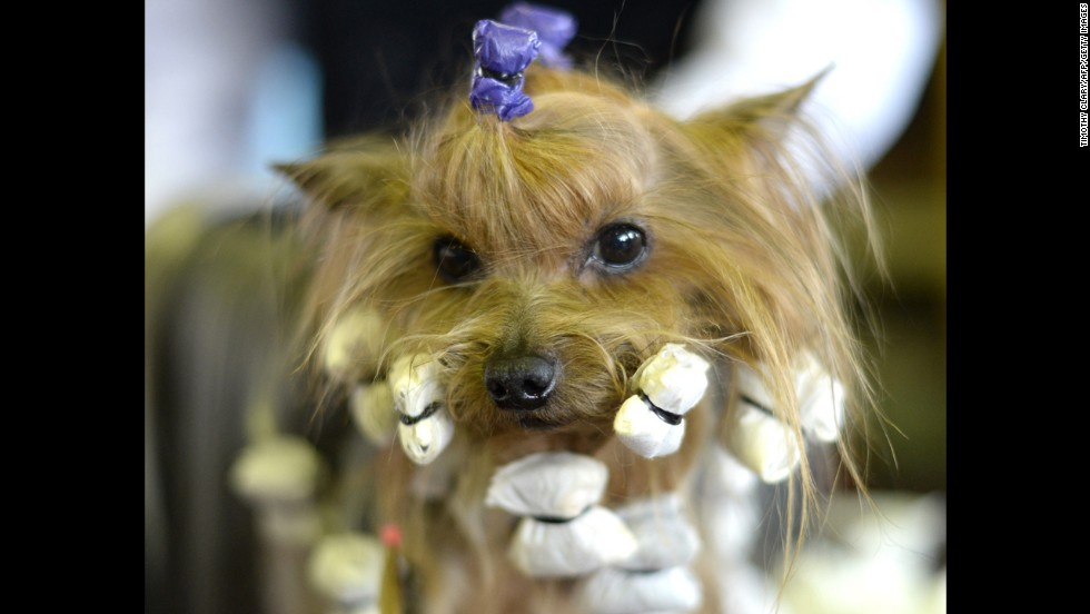 A Yorkshire terrier wears wrappers as he's prepped in the benching area on February 10.