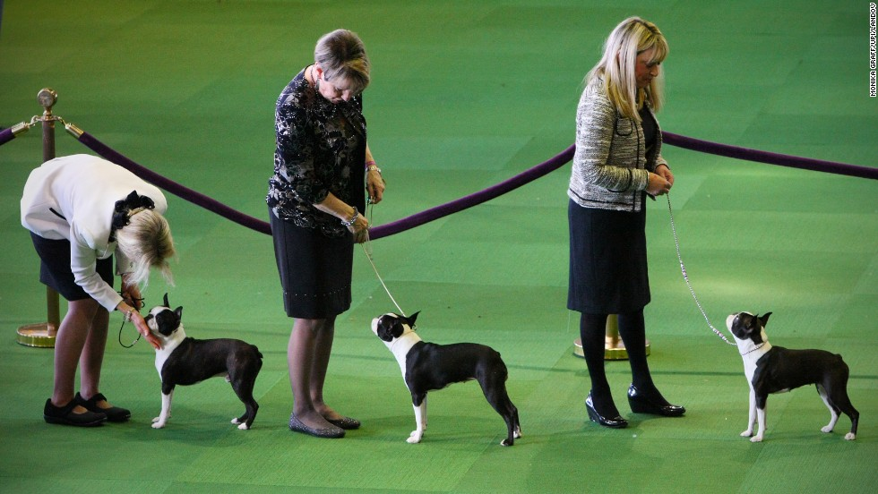 Boston terriers are judged during competition on February 10.
