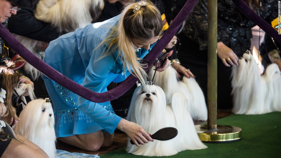Maltese dogs are groomed one last time before competing on February 10.