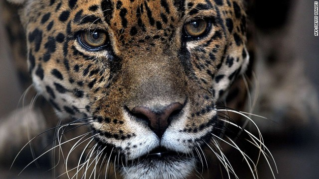 View of a Jaguar inside its cage at the Simon Bolivar Zoo --which celebrates its 97th anniversary-- in San Jose, on July 28, 2013. AFP PHOTO/Hector RETAMALHECTOR RETAMAL/AFP/Getty Images