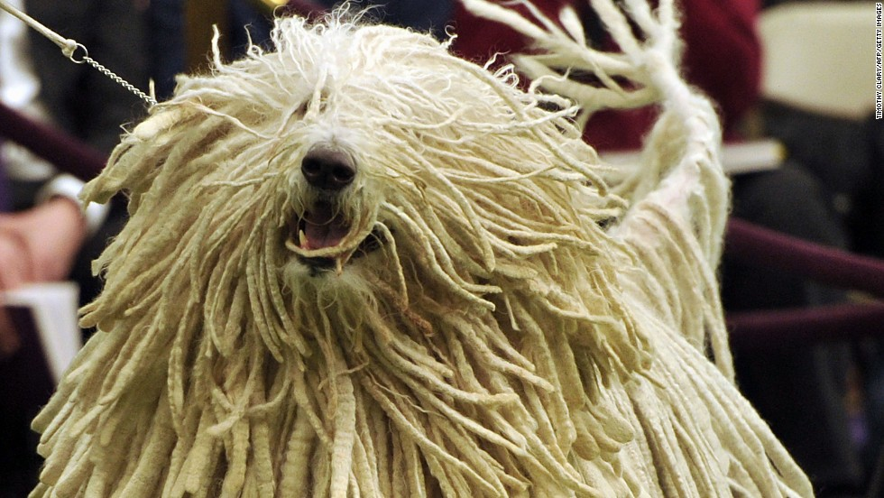 A komondor participates in the annual event on February 11.