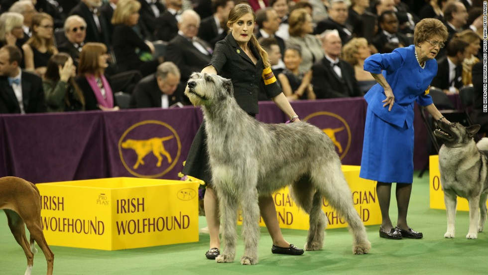 An Irish Wolfhound stands in the judging ring on Monday, February 10. Almost 200 different breeds of dogs are judged during the event.